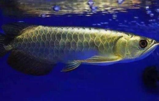 龙鱼如果混养要注意什么?龙鱼混养技巧